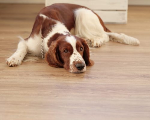 Dog lying on the floor at home